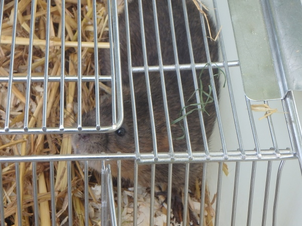 Water vole ready for release