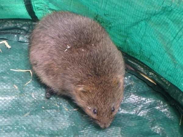 Water vole ready for translocation